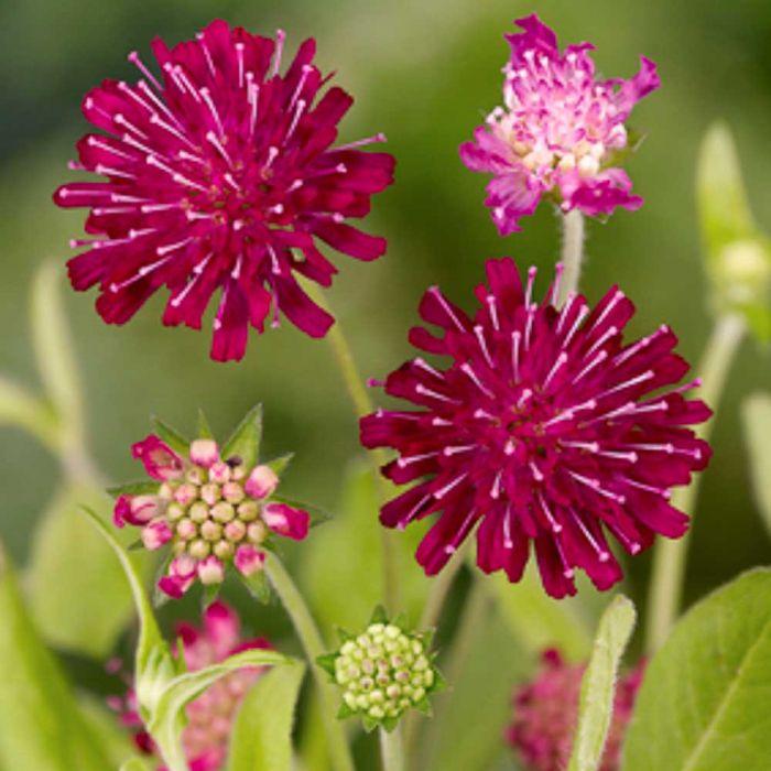 Rote Witwenblume (Knautia macedonica)