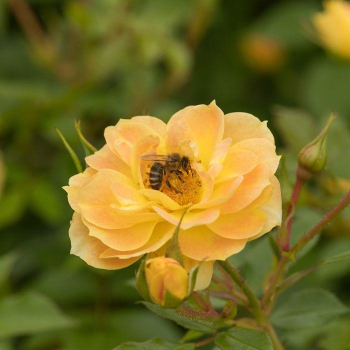 Rose Bijenweelde®-Paket