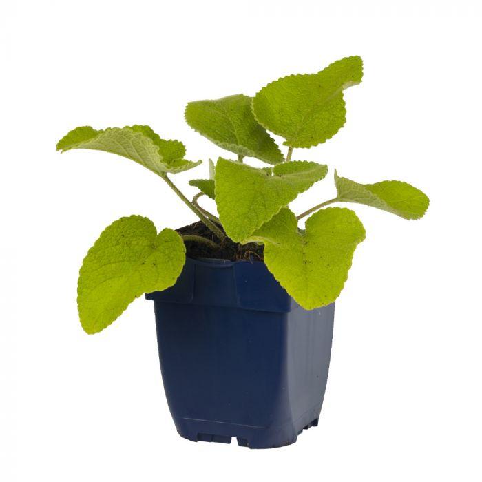 Brandkraut (Phlomis russeliana)