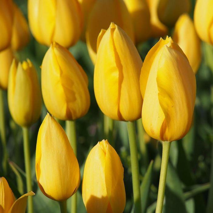 Tulpe 'Muscadet' - 10 Stück (BIO)