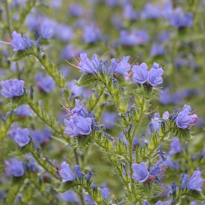 Blumenmischung für Solitärbienen 25g