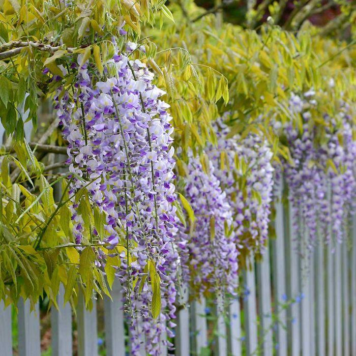 Blauer Regen (Wisteria sinensis)