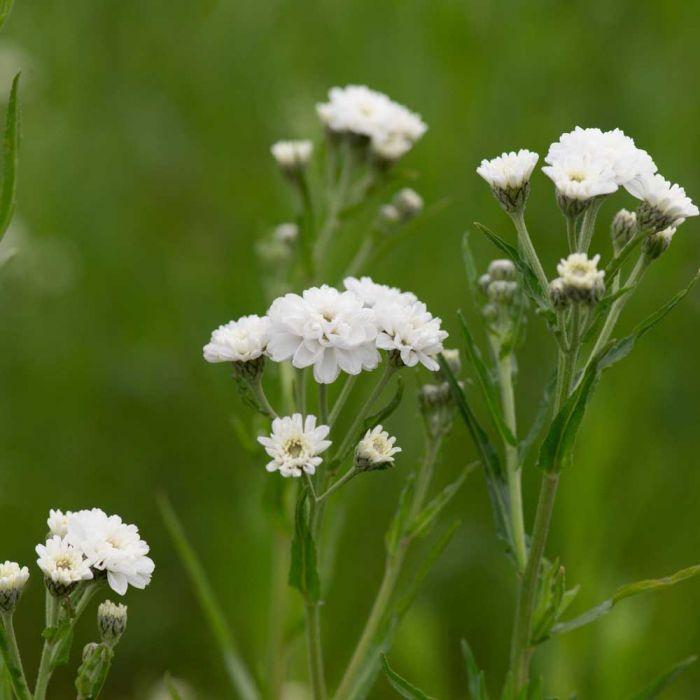 Sumpf-Schafgarbe (Achillea ptarmica 'The Pearl')
