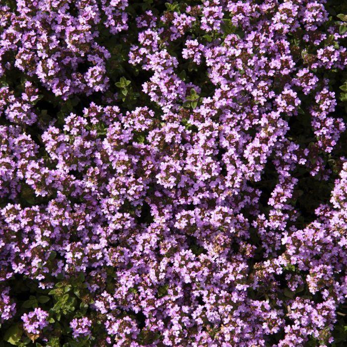 Teppichthymian (Thymus praecox 'Pseudo-lanuginosus')