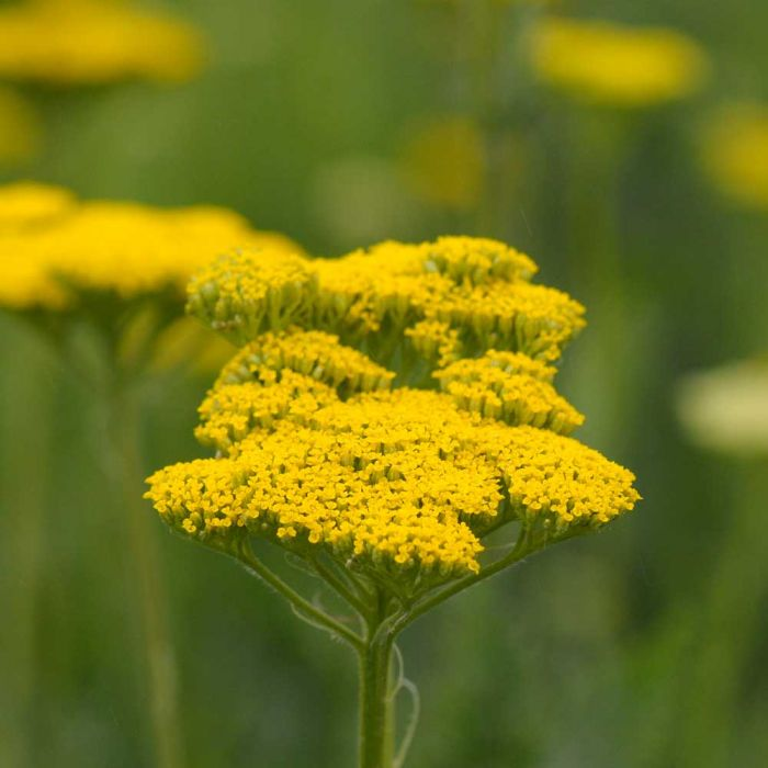 Gold-Schafgarbe (Achillea Filipendulina 'Cloth of Gold')