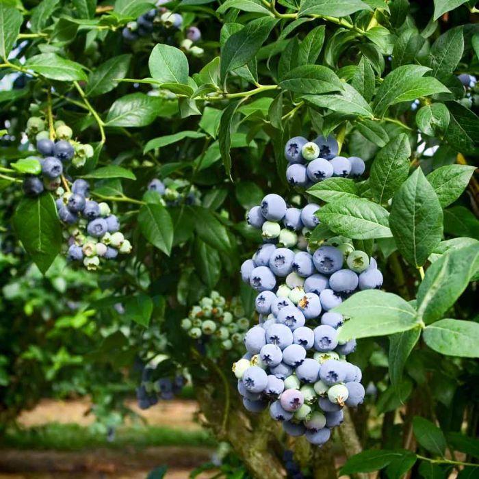 Heidelbeere (Vaccinium corymbosum) Mutterpflanze