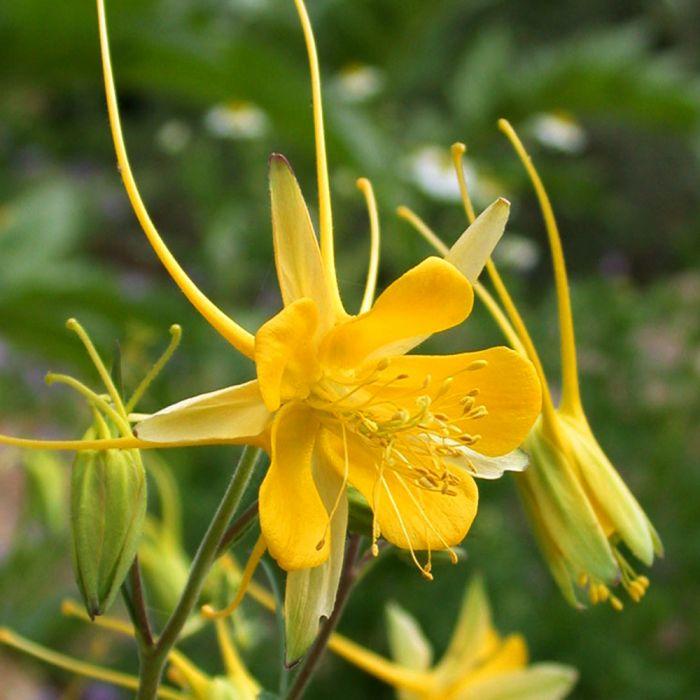 Gold-Akelei (Aquilegia chrysantha 'Yellow Queen')