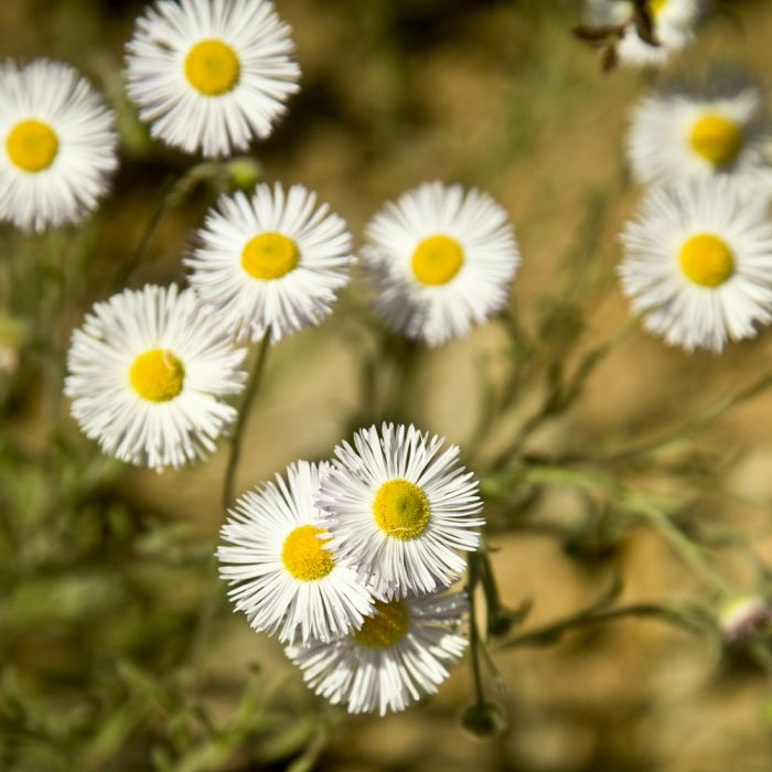 Spanisches Gänseblümchen 8 Stück