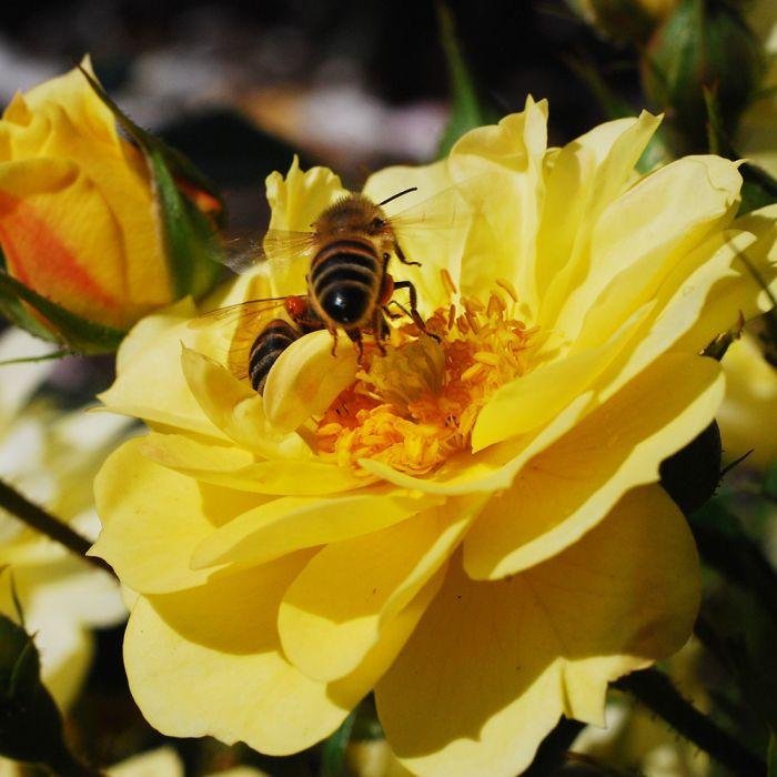 Bijenweelde® gelb