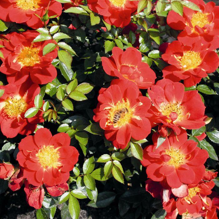 Rose Bijenweelde® hellrot