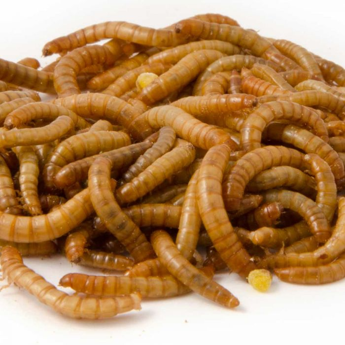 Lebende Mini-Mehlwürmer