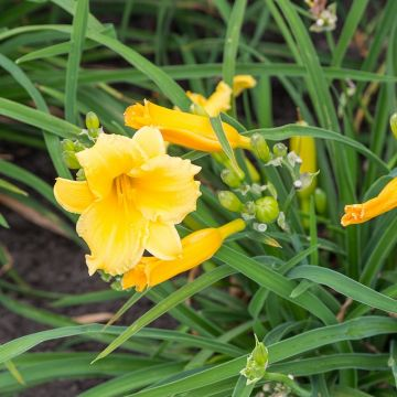 Taglilie 'Stella de Oro'
