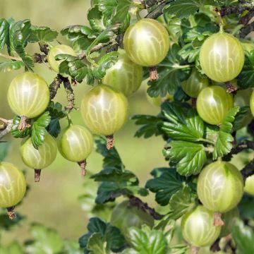 Stachelbeere grün 'Hinnonmaki green'