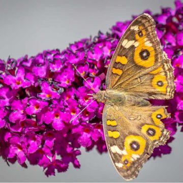 Schmetterlingsflieder 'Royal Red'