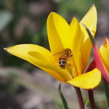 Tulpe 'Clusiana var. Chrysantha' - 10 Stück (BIO)