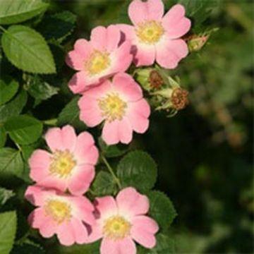 Wein-Rose (Rosa Rubiginosa)