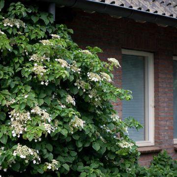 Kletterhortensie (Hydrangea anomala ssp. petiolaris)