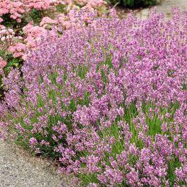 Rosablühender Lavendel 'Rosea'