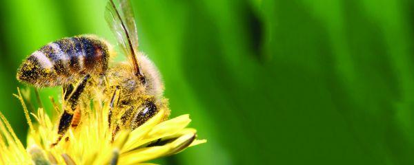 Solitärbienen – die fleißigen und unentbehrlichen  Helfer im Garten