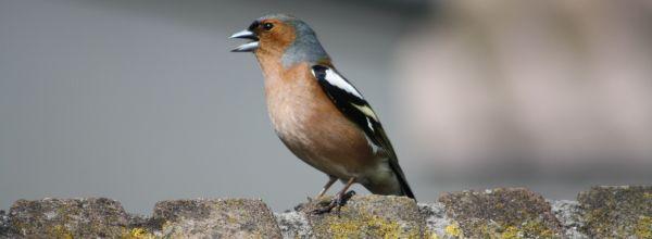 Sommersonnenwende – welche Vögel singen zuerst und welche folgen?