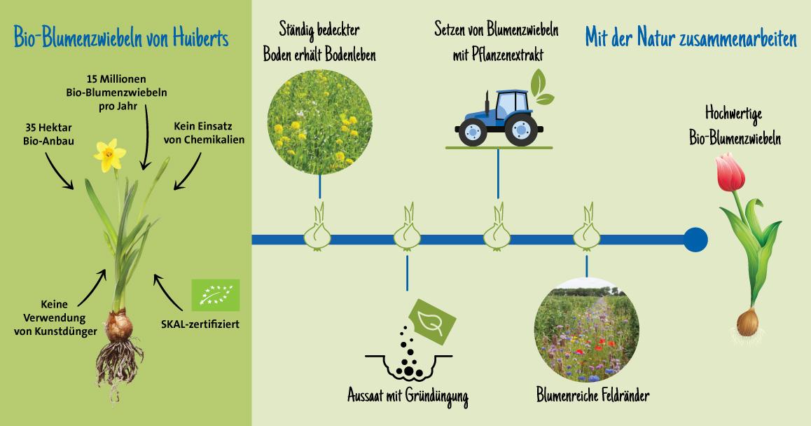 Prozess Blumenzwiebeln Huiberts