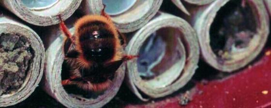 Rostrote Mauerbiene - Insekt des Jahres 2019