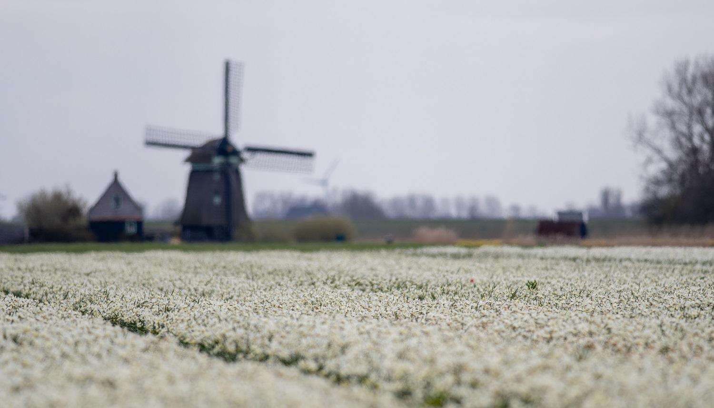 Windmühle und Blumenfeld