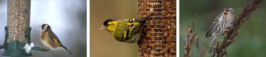 Typische Wintervögel - Stieglitz und Erlenzeisig