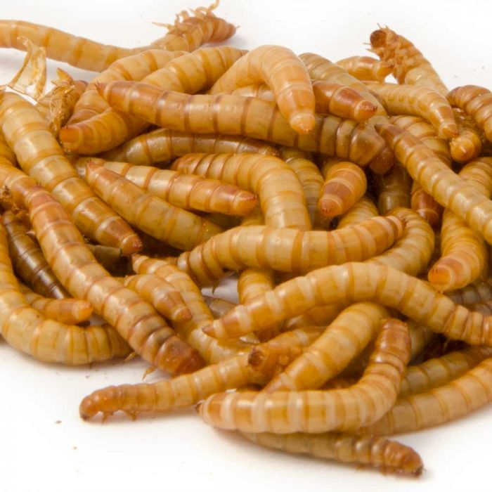 Live Mealworms (100g)