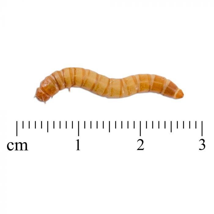 Lebende Mehlwürmer 100g