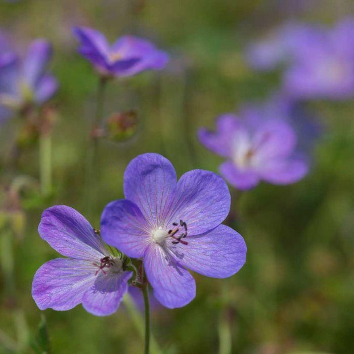 Storchschnabel, blaublühend (Geranium 'Johnson's Blue')