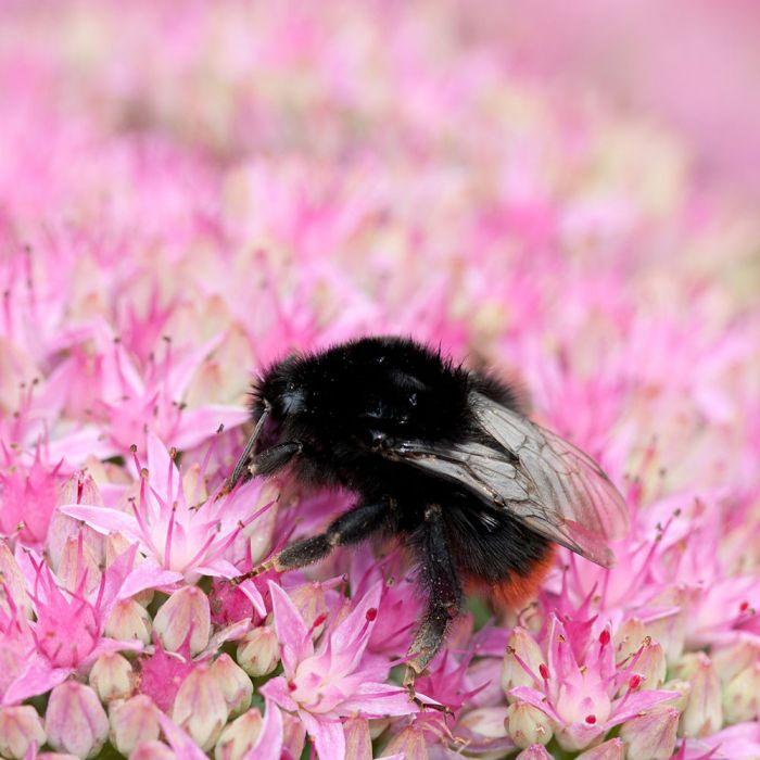 Fetthenne 'Herbstfreude' (Sedum hybride 'Herbstfreude')