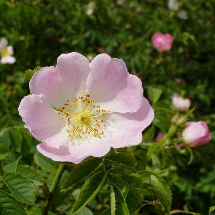 Hundsrose (Rosa canina)