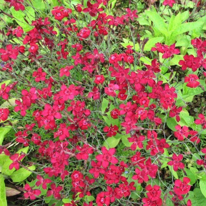 Heide-Nelke (Dianthus deltoides 'Flashing Light')