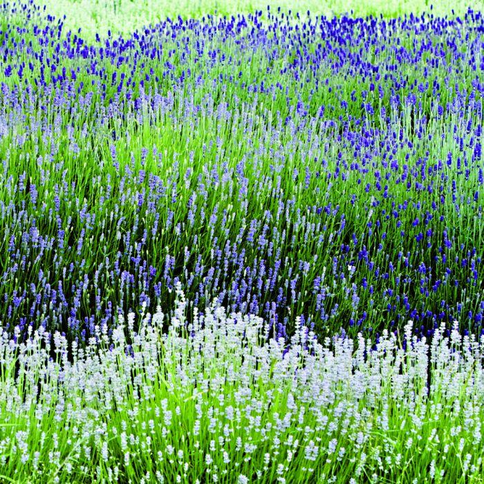 Weißer Lavendel (Lavandula angustifolia 'Edelweiss')