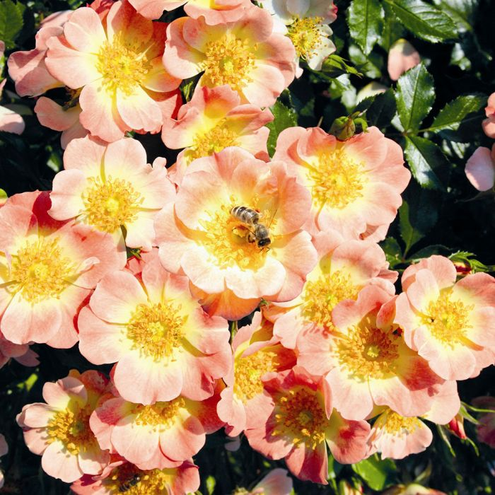 Rose Bijenweelde® apricot