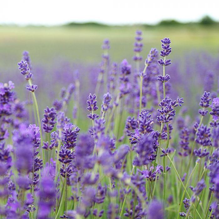 10 Stück - Schmalblättriger Lavendel (Lavandula angustifolia 'Munstead')