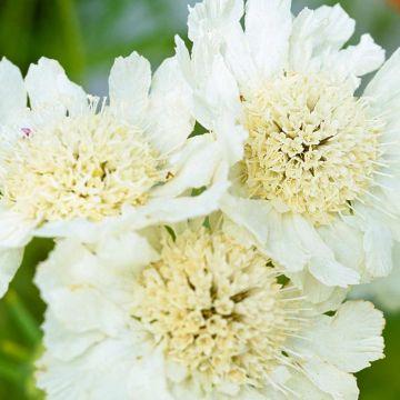 Große Garten-Skabiose 'Perfecta Alba'