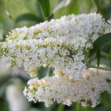 Schmetterlingsflieder 'Dart's Ornamental White'