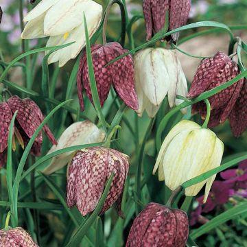 Schachblume (Fritillaria Meleagris Mix)