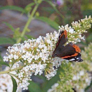 Schmetterlingsflieder 'White Profusion'