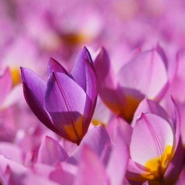 Biologische Tulpe 'Lilac Wonder'