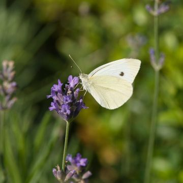 Lavendel (Lavandula angustifolia 'Hidcote')