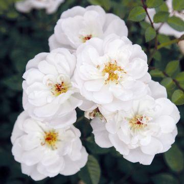 Rose Bijenweelde® weiß