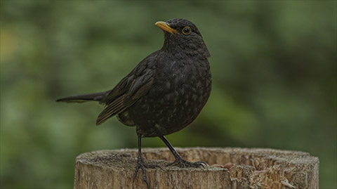 Amsel Webcam